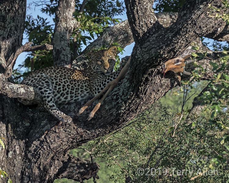Leopard cub in a Mopane tree with its paw on an impala carcass, Ngala, South Africa.  Best seen at larger sizes since his good camouflage causes him to almost disappear in the thumbnail.<br /> <br /> Mopane trees with their huge trunks and large spreading branches are favorites with leopards for stashing their prey out of reach of other predators such as lions and hyenas.  This young leopard is around 1 year old.  His mom was lying in the deep grass at the base of the tree totally stuffed after feeding on the impala.  The cub appeared to feel safer staying in the tree 'guarding' the impala carcass.  Note the paw resting on the hind limb of the impala, and how well he blends into the dappled light in the tree.