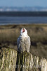 """""""It's a beautiful day and I feel like  s i n g i n g!""""    <br /> <br /> Snowy owl enjoys a sunny day.  For the next frame, showing his goofy little smile following his 'performance', see here <a href=""""http://goo.gl/yhduA"""">http://goo.gl/yhduA</a>"""