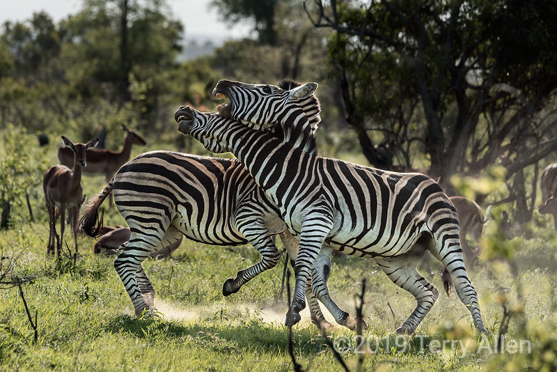 Battling zebras, Ngala, South Africa<br /> <br /> This was a serious fight that involved biting, kicking and drawing blood.