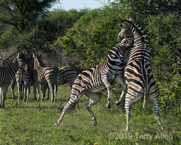 Zebra going for the jugular-1, Ngala, South Africa<br /> <br /> Today I've posted the final five dramatic photos of the zebra battle.  In this photo the female zebras are huddled together in the background trying to ignore these battling stallions, competing to control the harem.<br /> <br /> In the end these battles end with the loser giving up and running off to 'lick his wounds' and survive to fight another battle. In some ways the animal world is more 'civilized' than the human one where battles CAN end in death.