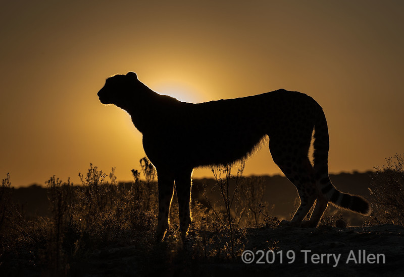 Backlit cheetah