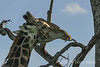 """""""Oooh, a perfect place to scratch that itch!""""<br /> <br /> This large male giraffe found an excellent small branch near the top of the tree to scratch his chin on. (best seen at large sizes)"""