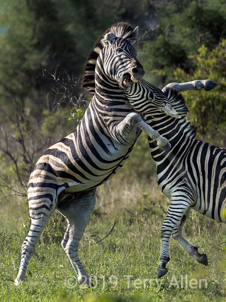 """Battling zebras-9, Ngala, South Africa<br /> <br /> At the larger sizes, you can see the beaten up ear and the scars on the rearing zebra, from previous battles.<br /> <br /> Several more photos of the zebra battle can be seen here <a href=""""http://goo.gl/RDXVL"""">http://goo.gl/RDXVL</a>.  Do you have a favorite?"""