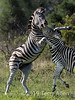 "Battling zebras-9, Ngala, South Africa<br /> <br /> At the larger sizes, you can see the beaten up ear and the scars on the rearing zebra, from previous battles.<br /> <br /> Several more photos of the zebra battle can be seen here <a href=""http://goo.gl/RDXVL"">http://goo.gl/RDXVL</a>.  Do you have a favorite?"