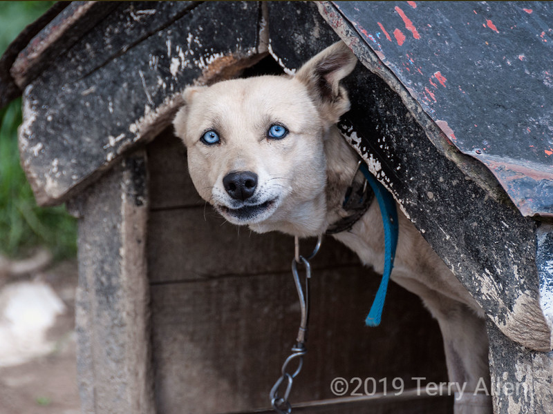 Blue-eyed sled dog, Usuhaia, Tierra del Fuego<br /> <br /> The dog's eyes were really that astonishing blue, and the image was not manipulated in any way<br /> <br /> Thank you for your comments on the Arctic fox and the polar bear from the last couple of days!