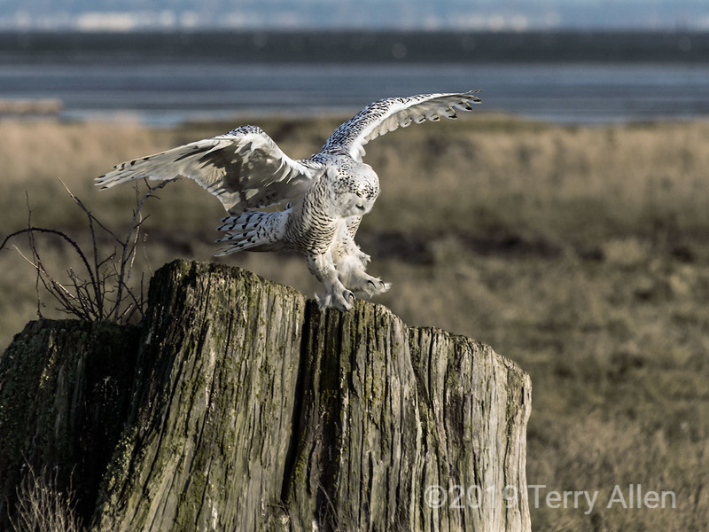 """Snowy owl landing on stump, Delta, BC<br /> <br /> I've been busy trying to get my computer problems solved and there were so many great images yesterday, I ran out of time to comment on them; apologies if I missed yours!  Today I have posted several snowy owl photos; you can see more here <a href=""""http://goo.gl/b0Pfp"""">http://goo.gl/b0Pfp</a>"""