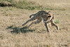 Cheetah in action at sunrise, Otjiwarongo, Namibia<br /> <br /> May not have time to post or comment during the next few days :-(