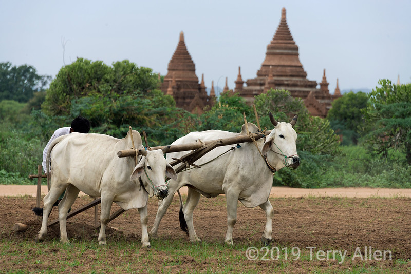 Farmer plowing his field with zebu (bos Indicus)-2, Bagan, Myanmar<br /> <br /> Zebu are very beautiful oxen, and seem to be quite gentle. I love that they use so many traditional ways of doing things in Myanmar.