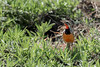 Rosy-throated long claw