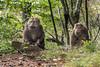 Tibetan macaques