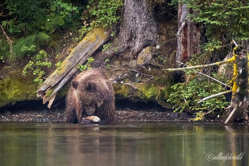 The cub's salmon