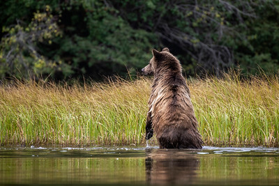 Alarmed mother grizzly