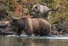 Chilko Lake grizzlies