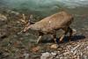 Huemul buck in a stream