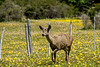 Huemul stopped by a fence