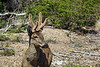 Huemul with velvet antlers