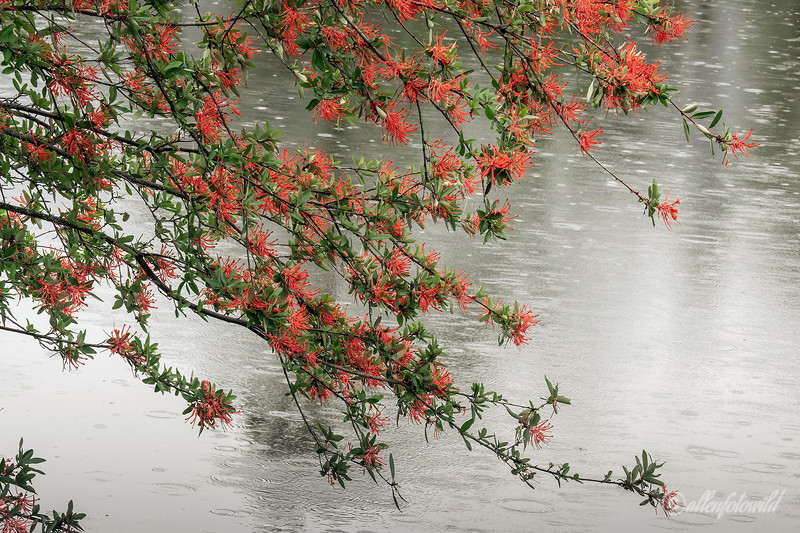 Red blossoms and raindrops