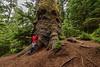 Ancient Stika spruce