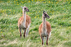 Guanacos with dandelions