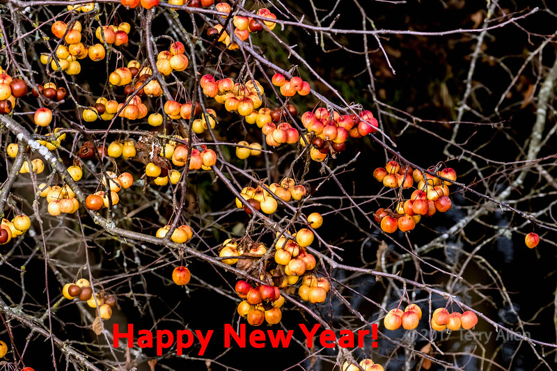 New Year 2018 Winter crab apples, Delta Dykes, Ladner, British Columbia