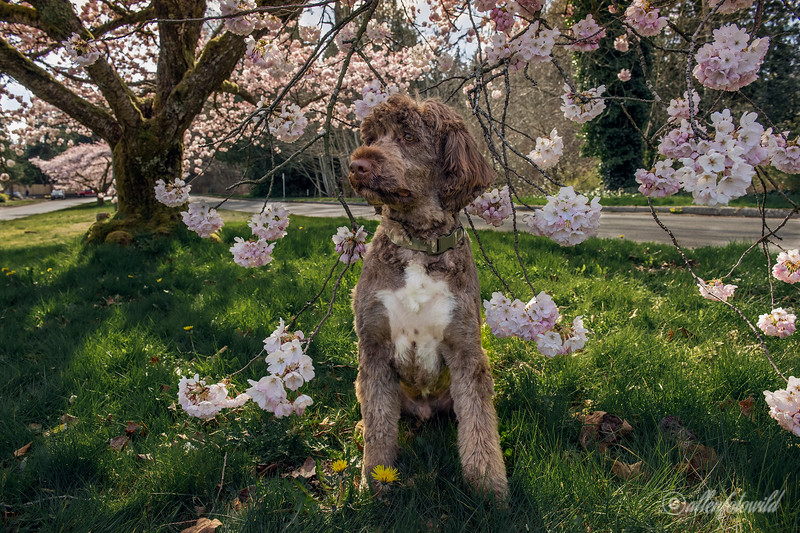 Portuguese Water Dog with cherry blossoms