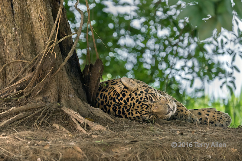 """One eye open and one ear cocked<br /> <br /> Jaguar resting on the banks of the Rio Ciuaba, Pantanal, Brazil<br /> <br /> Jaguars are threatened throughout much of their range, but along the banks of the Rio Cuiaba and its tributaries is it still possible to catch site of these magnificent creatures as they come to the river to hunt for caiman and capybara, some of their favorite food.<br /> <br /> Several photos of this big male jaguar in different poses can be seen here: <a href=""""http://goo.gl/hSdqWh"""">http://goo.gl/hSdqWh</a><br /> <br /> 06/05/15  <a href=""""http://www.allenfotowild.com"""">http://www.allenfotowild.com</a>"""