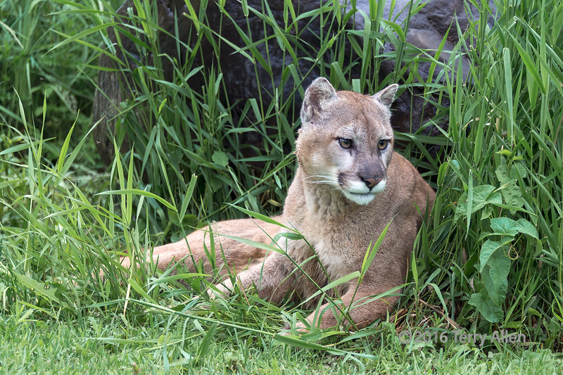 """Cougar lying against a rock, Sandstone, MN<br /> <br /> The last few photos of the cougar can be seen here: <a href=""""http://goo.gl/ATBgDE"""">http://goo.gl/ATBgDE</a><br /> <br /> 03/02/15  <a href=""""http://www.allenfotowild.com"""">http://www.allenfotowild.com</a>"""