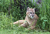 "Cougar lying against a rock, Sandstone, MN<br /> <br /> The last few photos of the cougar can be seen here: <a href=""http://goo.gl/ATBgDE"">http://goo.gl/ATBgDE</a><br /> <br /> 03/02/15  <a href=""http://www.allenfotowild.com"">http://www.allenfotowild.com</a>"