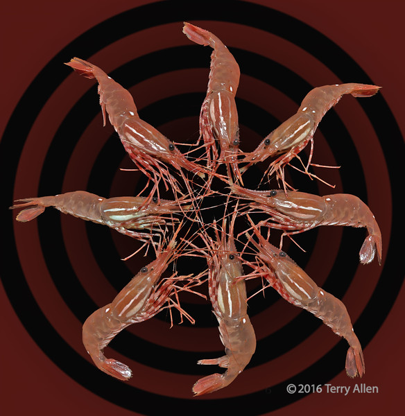 """Eight shrimp practicing their shrimp ring routine (best larger)<br /> <br /> Old photo with a new treatment (no time to do anything else for the still life challenge)<br /> <br /> 08/02/15  <a href=""""http://www.allenfotowild.com"""">http://www.allenfotowild.com</a>"""