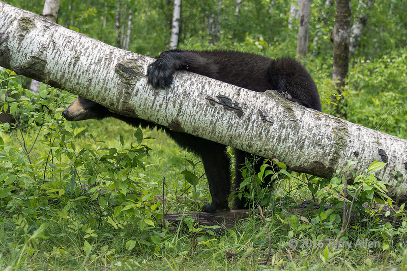 """Tree hugger #1<br /> <br /> Like the way this black bear was hugging a fallen tree.  All photos as shot with only minor adjustments for colour and contrast.<br /> <br /> Other photos of this tree hugging bear can be seen here: <a href=""""http://goo.gl/7T7daU"""">http://goo.gl/7T7daU</a><br /> <br /> 07/02/15  <a href=""""http://www.allenfotowild.com"""">http://www.allenfotowild.com</a>"""