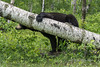 "Tree hugger #1<br /> <br /> Like the way this black bear was hugging a fallen tree.  All photos as shot with only minor adjustments for colour and contrast.<br /> <br /> Other photos of this tree hugging bear can be seen here: <a href=""http://goo.gl/7T7daU"">http://goo.gl/7T7daU</a><br /> <br /> 07/02/15  <a href=""http://www.allenfotowild.com"">http://www.allenfotowild.com</a>"