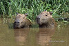 """Cooling off<br /> <br /> Capybara pair cooling off in the Rio Cuiaba, Pantanal, Brazil.<br /> <br /> I've always found there to be something quite appealing about capybaras, the world's largest rodents, and liked this male (on left) and female pair sitting placidly in the water by the edge of the river.<br /> <br /> Other photos of Pantanal wildlife can be seen here: <a href=""""http://goo.gl/JcZRBH"""">http://goo.gl/JcZRBH</a><br /> <br /> 22/05/15  <a href=""""http://www.allenfotowild.com"""">http://www.allenfotowild.com</a>"""
