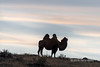"""Sunset with Bactrian camel<br /> <br /> On the long dirt road from Olgii to Khovd in Western Mongolia we came across a herd of Bactrian camels near sunset. I could see that there was a possibility of a silhouette shot as they neared a small rise and manoeuvred myself into position to capture this image.<br /> <br /> Other photos of the area can be seen here: <a href=""""http://goo.gl/rI9z9x"""">http://goo.gl/rI9z9x</a><br /> <br /> 16/08/15  <a href=""""http://www.allenfotowild.com"""">http://www.allenfotowild.com</a>"""
