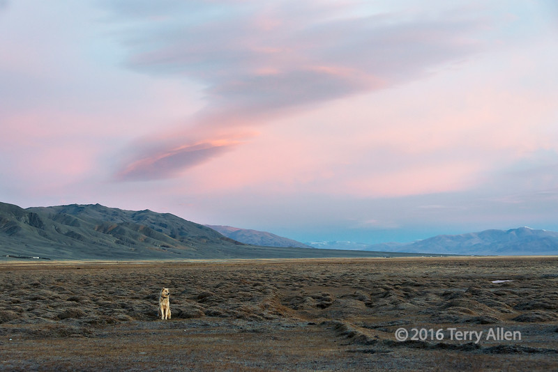 """Early morning with guard dog<br /> <br /> Steppes of Western Mongolia. I was staying in a ger belong to a Kazakh family of herders and came out one morning to a beautiful pre-dawn sky with the family guard dog in the foreground.<br /> <br /> Other shots from near the herder's ger can be seen here: <a href=""""http://goo.gl/B5hJmP"""">http://goo.gl/B5hJmP</a><br /> <br /> 11/05/15  <a href=""""http://www.allenfotowild.com"""">http://www.allenfotowild.com</a>"""