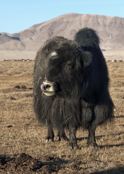 """Khainag grooming habits (best larger to see the tongue up its nose)<br /> <br /> A Khainag is the Mongolian name for a domestic hybrid between a cow and a yak.  This one was clearly having a bad hair day. They have hybrid vigour and produce more milk and meat than either the cow or the yak.  The male hybrids are sterile, but the females are fertile.<br /> <br /> Other shots from the Mongolian steppes can be seen here: <a href=""""http://goo.gl/ZJrlbm"""">http://goo.gl/ZJrlbm</a><br /> <br /> 14/05/15  <a href=""""http://www.allenfotowild.com"""">http://www.allenfotowild.com</a>"""