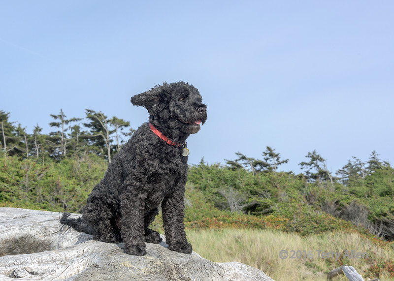 """Enjoying the breeze<br /> <br /> My Portuguese waterdog on a huge piece of driftwood at Long Beach, Tofino, British Columbia.  His bangs usually hide his eyes, but he faced into the wind and it blew back his hair (and his ear) so I got a good shot of his eye.<br /> <br /> Yesterday I just started a group on Flickr that I called Daily Photo Group (or Smugmug Refugees) to replace the non-functional and soon to be defunct SmugMug Daily Photo community. I posted a shot from my Flickr gallery to start the group off.<br /> <br />  <a href=""""https://www.flickr.com/groups/2811726@N24/pool/"""">https://www.flickr.com/groups/2811726@N24/pool/</a><br /> <br /> I also posted an interesting article from the web to start a discussion, accessed from the Discussion tab.  <a href=""""https://www.flickr.com/groups/2811726@N24/discuss/"""">https://www.flickr.com/groups/2811726@N24/discuss/</a><br /> <br /> Please spread the word on the SmugMug dailies...I see today that several of us have posted and commented via the community site, since the Daily Photo page is still blank."""
