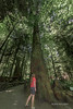 """Giant Douglas fir (Pseudotsuga menziesii)<br /> <br /> One of the many big old Douglas firs in Cathedral Grove, McMillan Provincial Park, Vancouver Island, British Columbia<br /> <br /> Other photos from mid-Vancouver Island can be seen here: <a href=""""http://goo.gl/JbRBvq"""">http://goo.gl/JbRBvq</a><br /> <br /> 31/07/15  <a href=""""http://www.allenfotowild.com"""">http://www.allenfotowild.com</a>"""