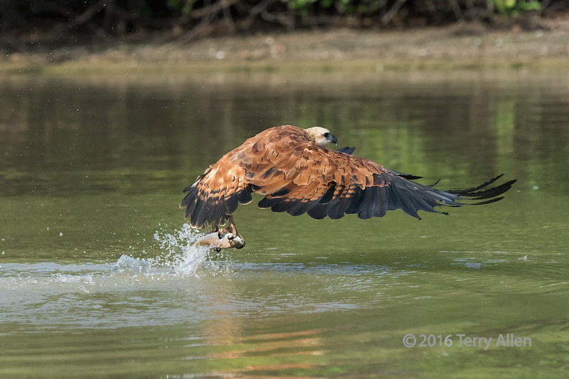 """Good catch!<br /> <br /> Black collared hawk (Busarellus nigricollis) with a fish in its talons, Pixaim River, Pantanal wetlands, Brazil.  These guys are REALLY fast and I have to go to 1/3200 sec to even have a hope of catching them, which meant an ISO of 2000 to get enough depth of field.  Shot hand held from a small boat.  I'm discovering that the D810 is excellent  with noise at least up to ISO 2000 and higher.<br /> <br /> Other photos of hawks and kingfishers grabbing fish from the river can be seen here: <a href=""""http://goo.gl/vTLm8H"""">http://goo.gl/vTLm8H</a><br /> <br /> 04/02/15  <a href=""""http://www.allenfotowild.com"""">http://www.allenfotowild.com</a>"""