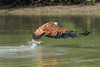 "Good catch!<br /> <br /> Black collared hawk (Busarellus nigricollis) with a fish in its talons, Pixaim River, Pantanal wetlands, Brazil.  These guys are REALLY fast and I have to go to 1/3200 sec to even have a hope of catching them, which meant an ISO of 2000 to get enough depth of field.  Shot hand held from a small boat.  I'm discovering that the D810 is excellent  with noise at least up to ISO 2000 and higher.<br /> <br /> Other photos of hawks and kingfishers grabbing fish from the river can be seen here: <a href=""http://goo.gl/vTLm8H"">http://goo.gl/vTLm8H</a><br /> <br /> 04/02/15  <a href=""http://www.allenfotowild.com"">http://www.allenfotowild.com</a>"