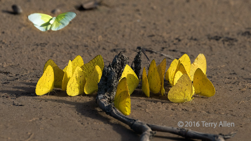 """Float like a butterfly<br /> <br /> Sulphur butterflies (Phoebis senae) feeding on minerals on a sandback, Pixaim River, Pantanal, Brazil (best larger)<br /> <br /> Other photos of creatures from the river bank can be seen here: <a href=""""http://goo.gl/j1Nzn5"""">http://goo.gl/j1Nzn5</a><br /> <br /> 01/04/15  <a href=""""http://www.allenfotowild.com"""">http://www.allenfotowild.com</a>"""