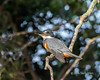 """Ringed kingfisher on a riverside branch (best larger)<br /> <br /> Rio Cuiaba, Pantanal, Brazil<br /> <br /> Other photos from Rio Cuiaba can be seen here: <a href=""""http://goo.gl/dqaNFg"""">http://goo.gl/dqaNFg</a><br /> <br /> 13/06/15  <a href=""""http://www.allenfotowild.com"""">http://www.allenfotowild.com</a>"""