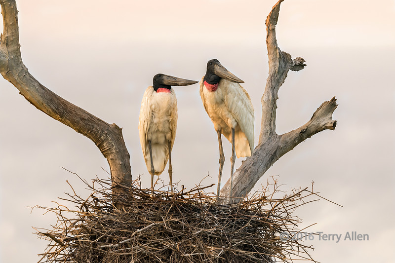 """Storks at sunrise<br /> <br /> Pair of Jabiru storks on their nest at sunrise.  Every evening the storks went back to their large messy nest on the Fazenda St Tereza and very morning just after sunrise they flew off to fish.  I had to get up early to catch them still on the nest.  Pixaim River, Pantanal, Brazil<br /> <br /> A shot of the storks just after returning to their nest at dusk can be seen here + a couple of other shots of them at sunrise: <a href=""""http://goo.gl/XiTqH4"""">http://goo.gl/XiTqH4</a><br /> <br /> 19/04/15  <a href=""""http://www.allenfotowild.com"""">http://www.allenfotowild.com</a>"""