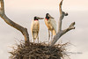 "Storks at sunrise<br /> <br /> Pair of Jabiru storks on their nest at sunrise.  Every evening the storks went back to their large messy nest on the Fazenda St Tereza and very morning just after sunrise they flew off to fish.  I had to get up early to catch them still on the nest.  Pixaim River, Pantanal, Brazil<br /> <br /> A shot of the storks just after returning to their nest at dusk can be seen here + a couple of other shots of them at sunrise: <a href=""http://goo.gl/XiTqH4"">http://goo.gl/XiTqH4</a><br /> <br /> 19/04/15  <a href=""http://www.allenfotowild.com"">http://www.allenfotowild.com</a>"