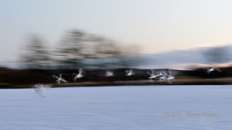 Red crowned cranes flying at sunset (best larger)