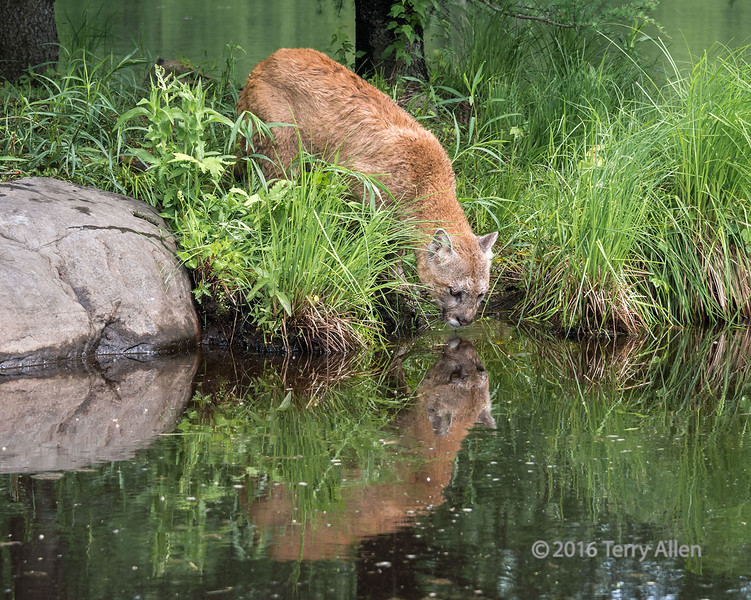 """Cougar and reflection (best larger)<br /> <br /> Cropped as per arctangent's suggestion...<br /> <br /> The last of the photos of the cougar can be seen here: <a href=""""http://goo.gl/1pIj12"""">http://goo.gl/1pIj12</a><br /> <br /> 02/01/14  <a href=""""http://www.allenfotowild.com"""">http://www.allenfotowild.com</a>"""