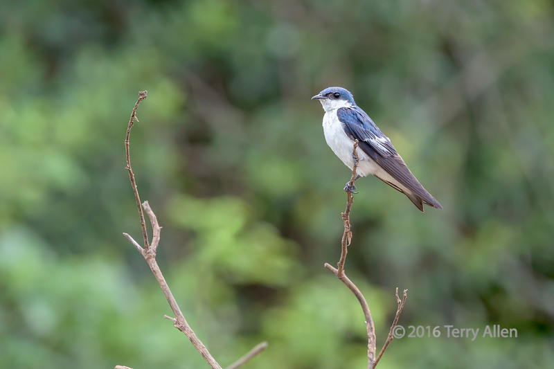 """Blue and white swallow (Notiochelido ncyanoleuco)<br /> <br /> Rio Cuiaba, Pantanal, Brazil (best larger)<br /> <br /> Other photo from the area can be seen here: <a href=""""http://goo.gl/nZoIGB"""">http://goo.gl/nZoIGB</a><br /> <br /> 04/08/15  <a href=""""http://www.allenfotowild.com"""">http://www.allenfotowild.com</a>"""
