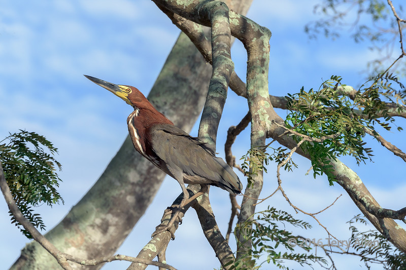 """Rufescent tiger heron<br /> <br /> Tigrisoma lindatum linetum seen in riverside tree, Rio Cuiaba, Pantanal wetlands, Brazil<br /> <br /> After several days absence, thought I would try to post to the SM dailies and see if it was still working.<br /> <br /> 29/09/15  <a href=""""http://www.allenfotowild.com"""">http://www.allenfotowild.com</a>"""