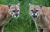"Cute vs scary<br /> <br /> Portrait of a cougar in two different moods, Sandstone, Minnesota.  This photo is a combination of two different back to back photos.  I flipped one and merged the two together.<br /> <br /> One of my photos is being considered for publication in National Geographic.  Before midnight EST tonight you can help me out by voting for the photo here: <a href=""http://goo.gl/oTF4ik"">http://goo.gl/oTF4ik</a><br /> <br /> Other photos of this cougar can be seen here: <a href=""http://goo.gl/XED6Zn"">http://goo.gl/XED6Zn</a><br /> <br /> 08/01/14  <a href=""http://www.allenfotowild.com"">http://www.allenfotowild.com</a>"