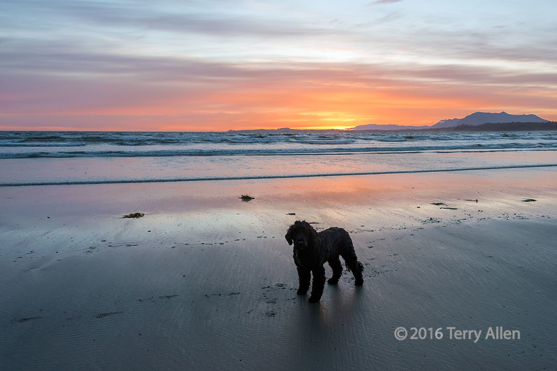 """Tikko at Long Beach<br /> <br /> Decided to take a little break and head over to the scenic areas of the west coast of Vancouver Island with my Portuguese Water Dog, who thought it was a wonderful plan.<br /> <br /> 18/06/26  <a href=""""http://www.allenfotowild.com"""">http://www.allenfotowild.com</a>"""