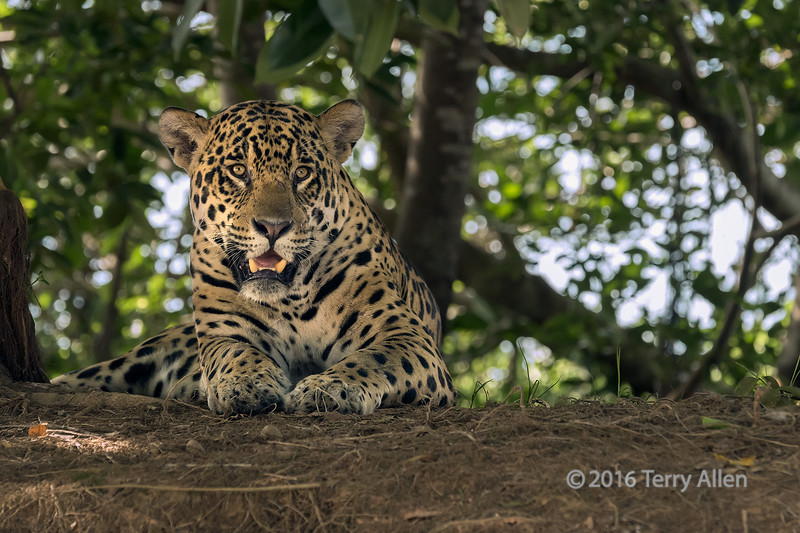 """Relaxed, but alert (best larger)<br /> <br /> Jaguar (Panthera onca) on the river bank, Rio Cuiaba, Pantanal, Brazil.  <br /> <br /> The Jaguar is the third largest cat in the world and the only one indigenous to the Americas.  It is larger and heavier than the African leopard with a more powerful bite that can go through the skull of a caiman. <br /> <br /> Its status is near threatened due to habitat loss and conflicts with ranchers. Jaguar populations in this remote Pantanal region of Brazil are still fairly healthy.<br /> <br /> Other photos of this beautiful animal can be seen here: <a href=""""http://goo.gl/M1j5Ri"""">http://goo.gl/M1j5Ri</a><br /> <br /> 29/04/15  <a href=""""http://www.allenfotowild.com"""">http://www.allenfotowild.com</a>"""